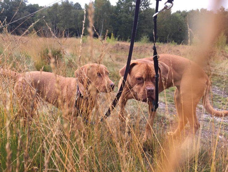 dog-walkin-gall